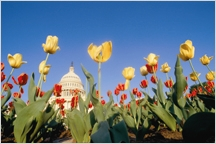 Tulip flower bed with the Capital Building in the background