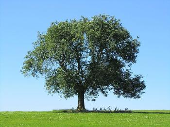 Image of an ash tree