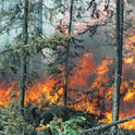 fire sweeps through pine forest
